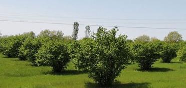 Fermerlərin diqqətinə: Bu il fındıq bağlarının hər hektarına 4 400 manat pul veriləcək